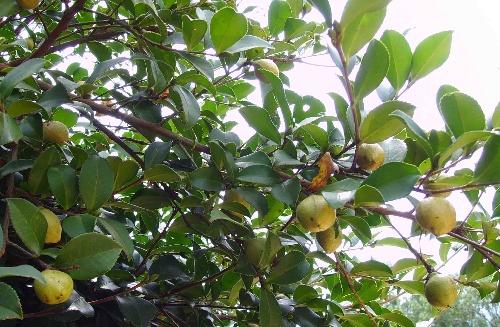 首页 旗下产品  山茶油(又名野山茶油,茶籽油,油茶籽油)取自油茶树的